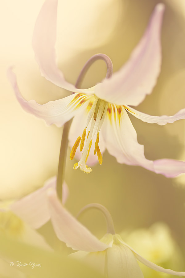 shot through a sea of Oxlips - the final rays of the sun illuminating the soft pink petals