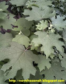 tanaman pulutan dan kesehatan