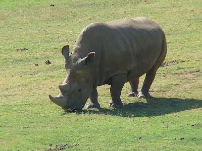 Northern-White-Rhino-Now-Extinct-In-The-Wild