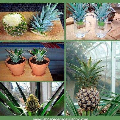 Meu cantinho verde plantar abacaxi no vaso for La bioguia jardines