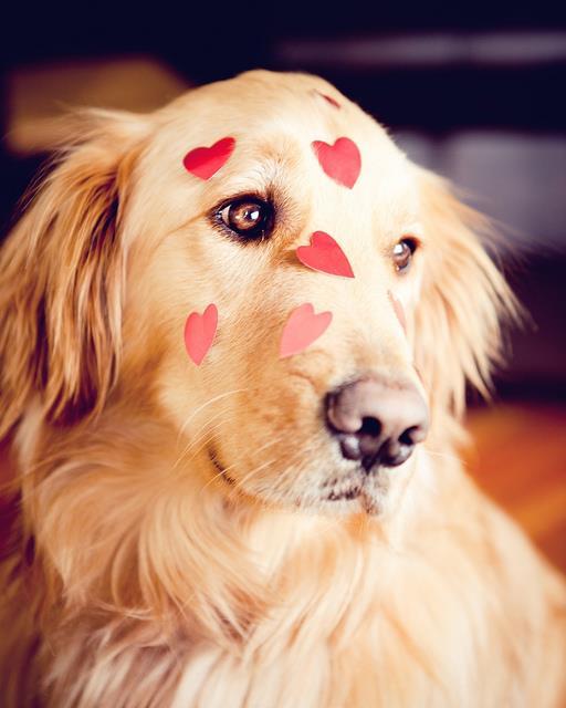 san valentines days meme - Golden Retriever 13 RAZÕES PARA NO TER UM GOLDEN RETRIEVER