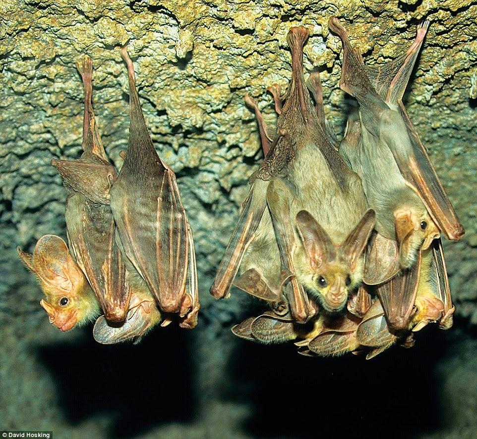 نوع من الخفافيش العملاقة المهددة بالإنقراض