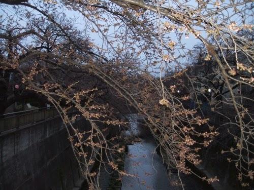 もうすぐ、桜がさきます