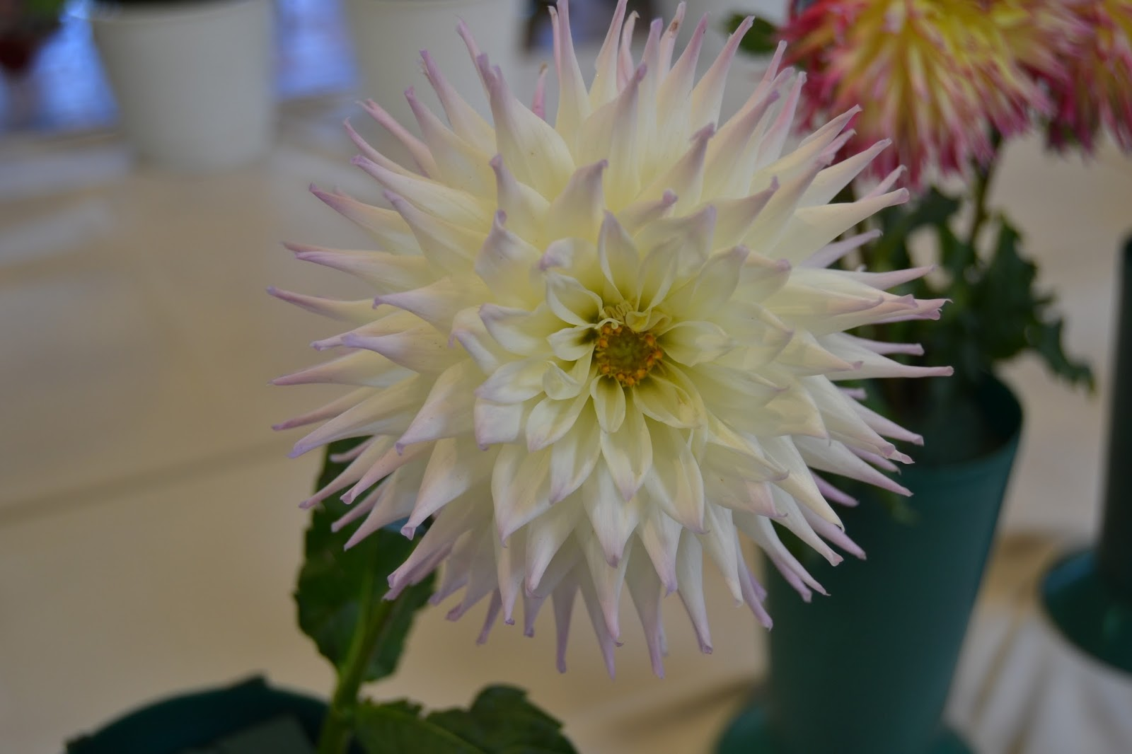 Dahlia Flower In Different Colors Flower And Garden