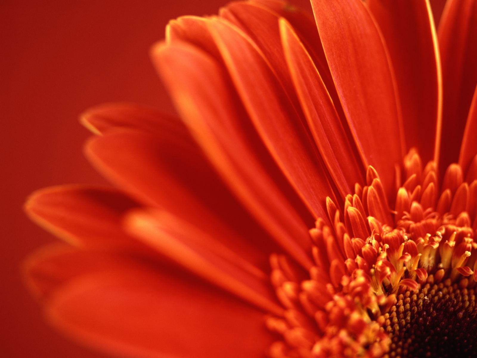 amazing red flower wallpapers - photo #7