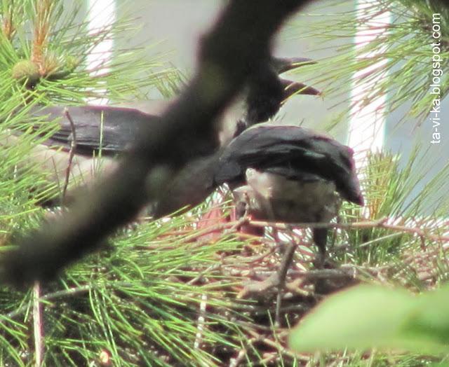 вороны кормят птенцов