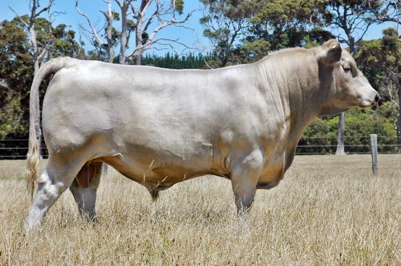 Gambar sapi murray grey - sapi pedaging impor usahaternak