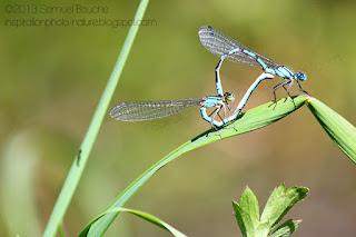 accouplement et coeur de libellule agrion bleu amour chez les insectes photo macro nature libellule