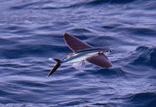 El Pez volador golondrina, Exocoetidae,