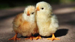 Chick Wallpapers