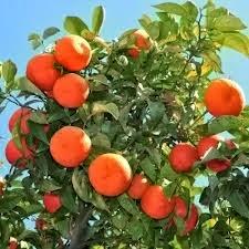 orange clone