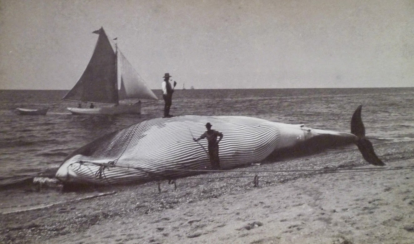 Drift Whaling or Strandings Brought an Occasional Bonus to Provincetown Shores