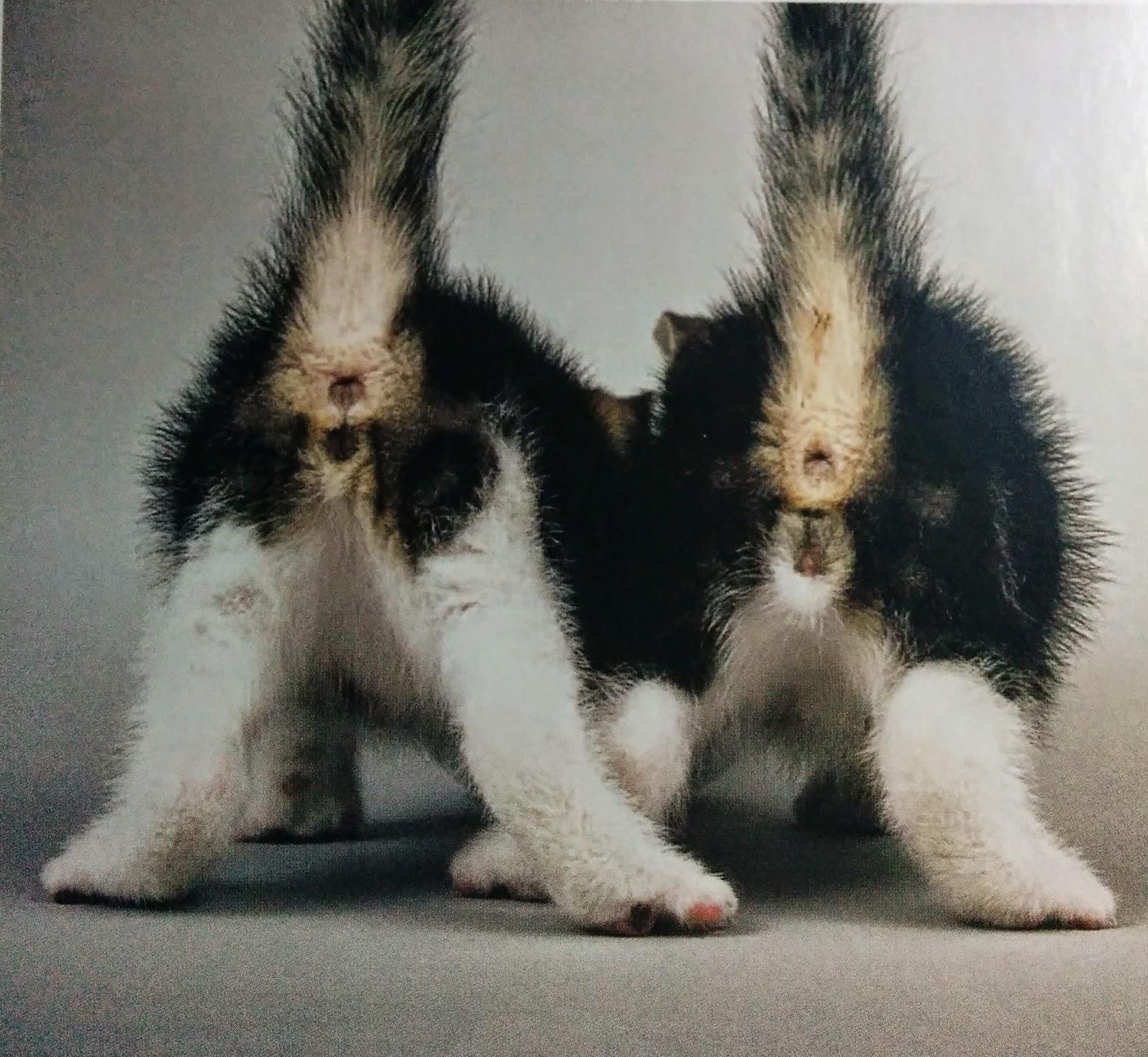 genitales de gato macho