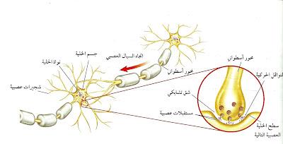 انواع الخلايا العصبية فى الانسان %D8%A7%D9%84%D8%B9%D8%B5%D8%A8%D9%88%D9%86%D8%A7%D8%AA