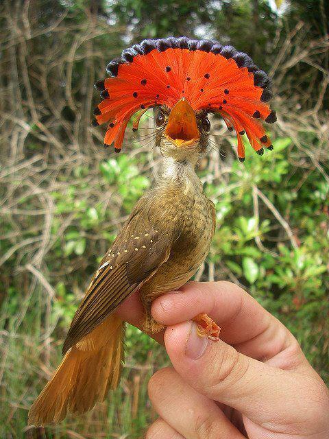 طائر صخور الانديز