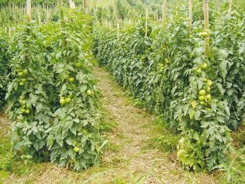 campo plantaçao
