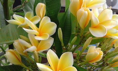 http://www.fotodoku.co.vu/2015/07/bunga-tetangga-yang-indah.html