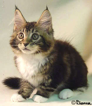 maine_coon_kitten.jpg