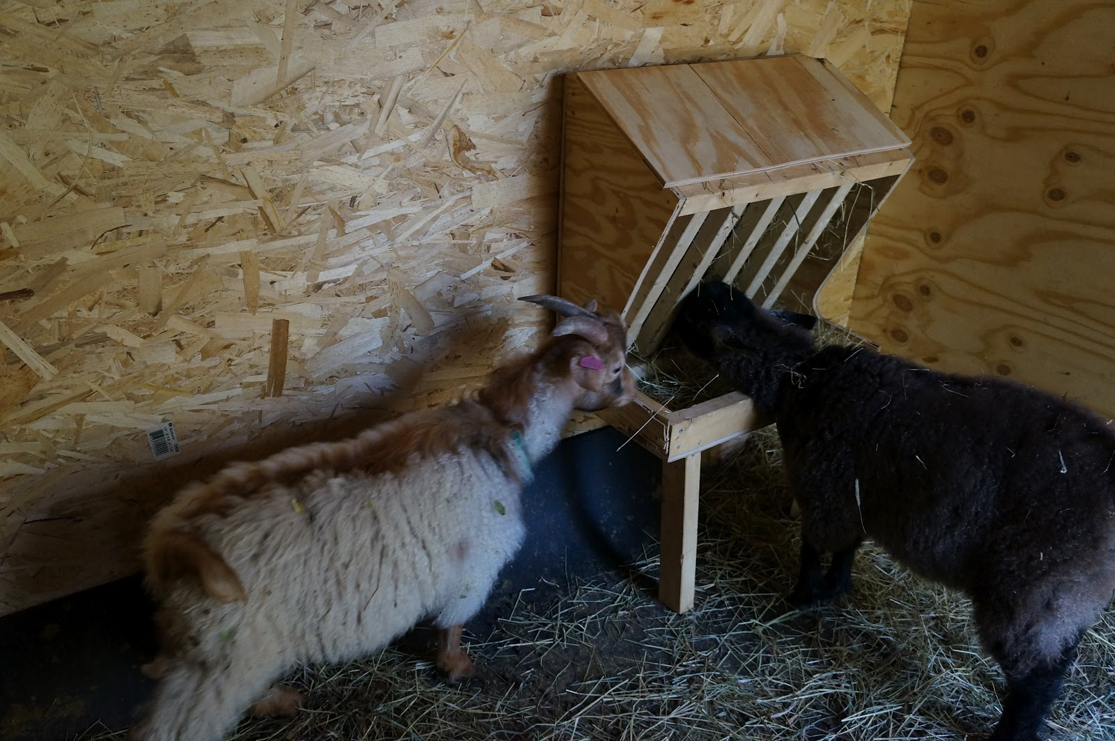 started plans best world pen fence we buck line goat goats survival with of feeders these in hay two the for side it challenged by filling feeder our put were