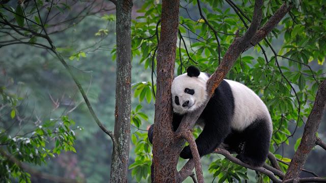 Giant panda at Bifengxia Panda Base in Ya'an, China (© Eric Baccega/Minden Pictures)