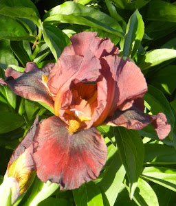 "Iris ""Red Zinger"""
