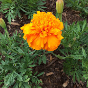 Marigolds in my Yard