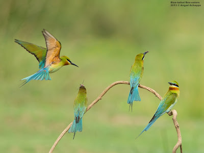 Blue-tailed Bee-eaters, blue tailed bee eaters, birds, birding, wildlife photography, nature, photography, karnataka, india, indian birds, birds in action, best bird photographs