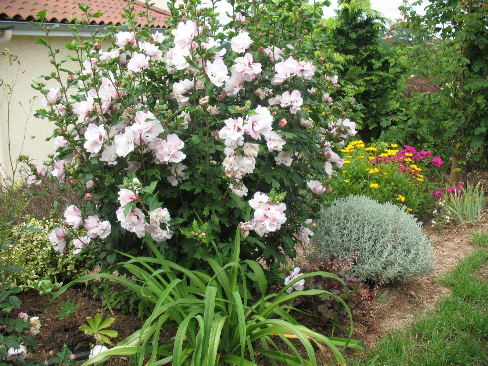 Roses du jardin ch neland hibiscus syriacus red heart - Haie hibiscus de jardin ...