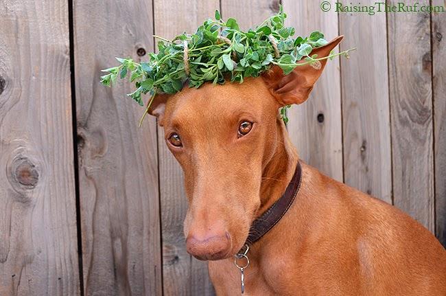 funny dog balancing things on his head
