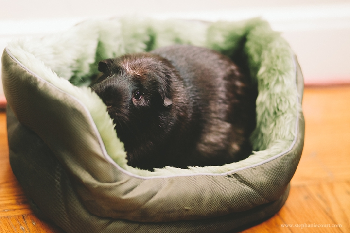 guinea-pig-cuddle-cup