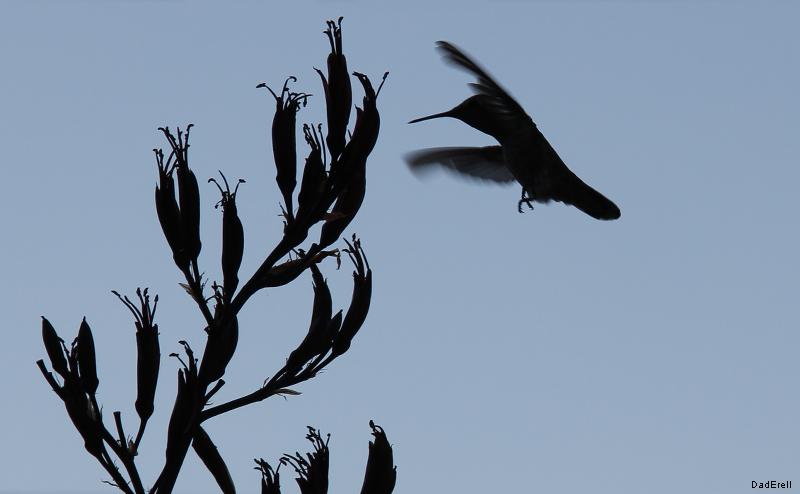 Colibri s'approchant d'une fleur de phormium