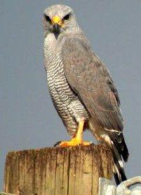 Halcón gris