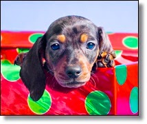 Picture of puppy in gift box