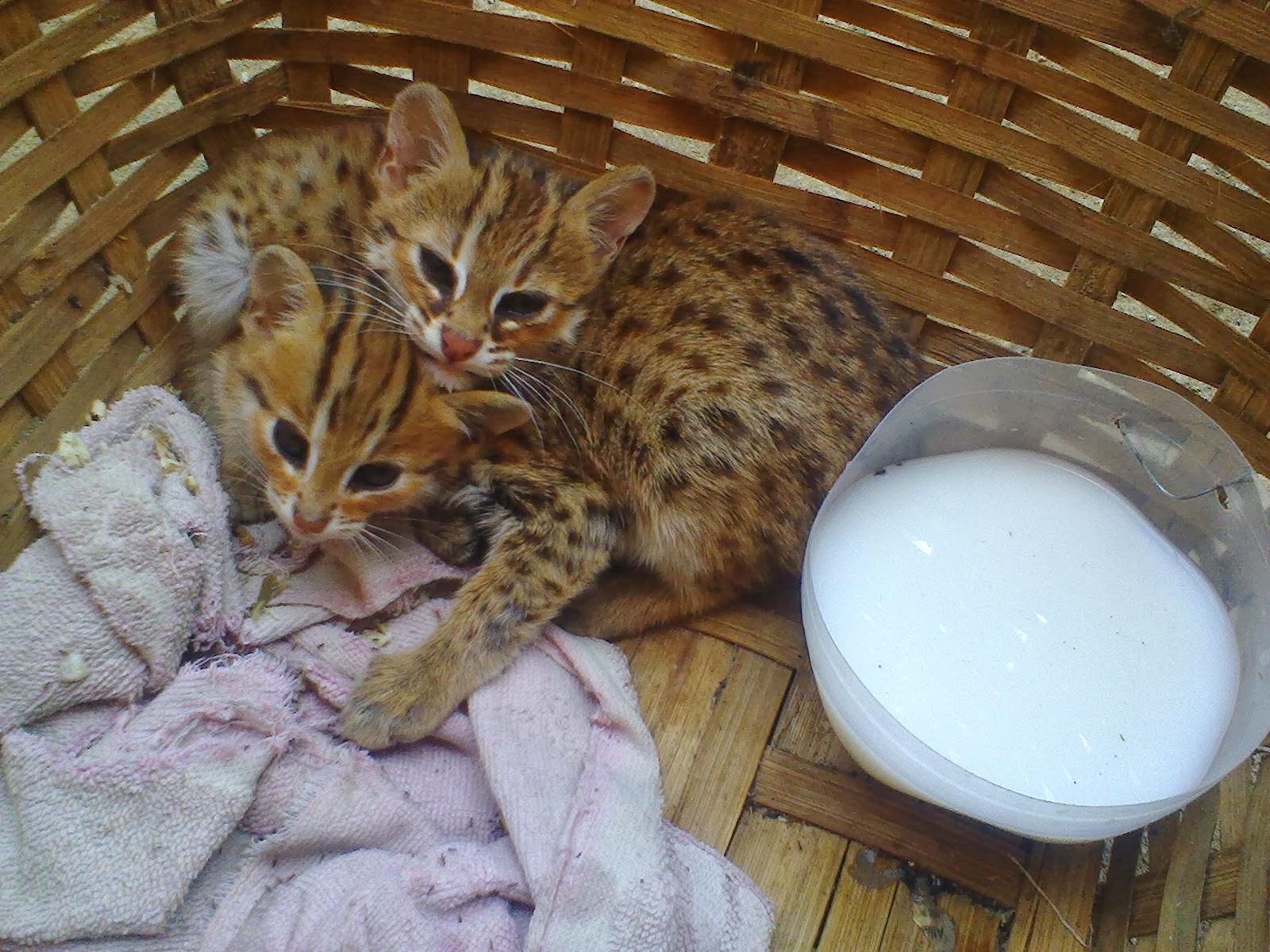 Kucing Hutan Jual Malaysia Kucing Hutan Jual Kucing Pin