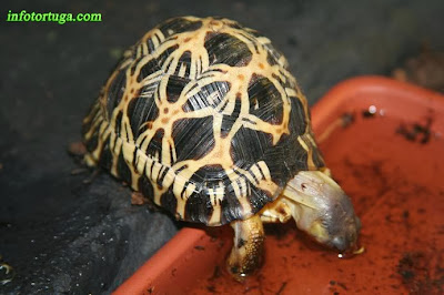 Radiated tortoise - Astrochelys radiata
