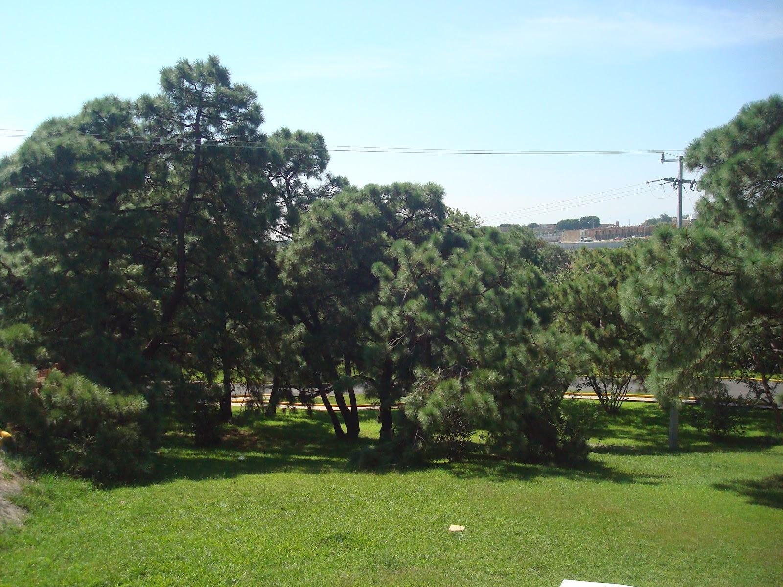 Sancarlosfortin jardin de pinos de pi as - Pinos para jardin ...