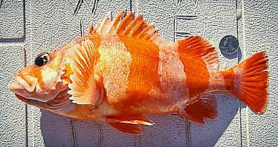 barberpole, orange rockfish, clownfish, Nemo