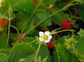 Alpine Strawberry Blossom and Fruit