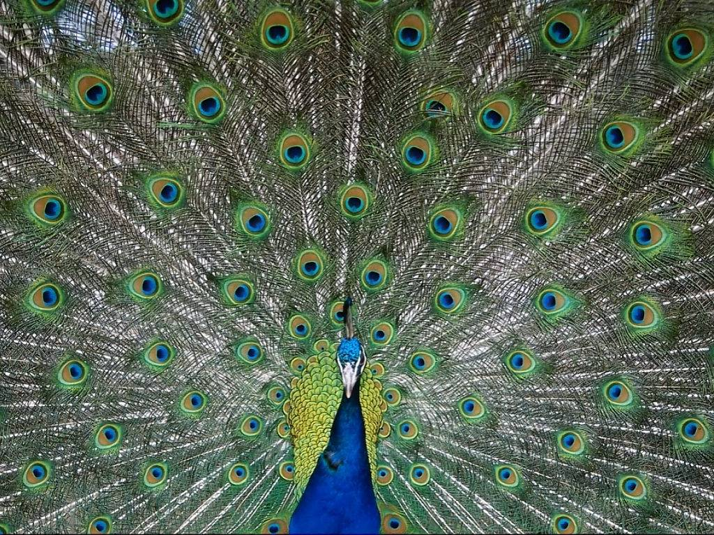 Im genes del mundo animal pavo real - Fotos de un pavo real ...
