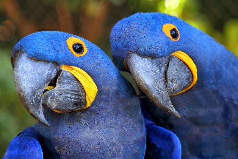 Well-known Tea: Extinta da natureza, ararinha-azul vive em cativeiros de  SV72