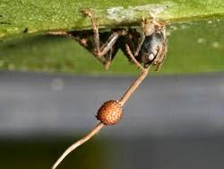 gambar semut zombie