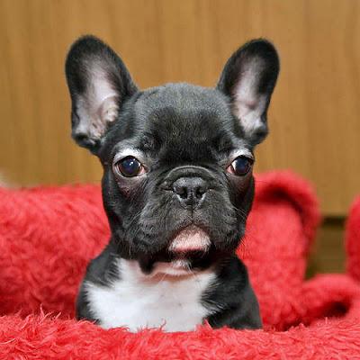foto filhote cachorro