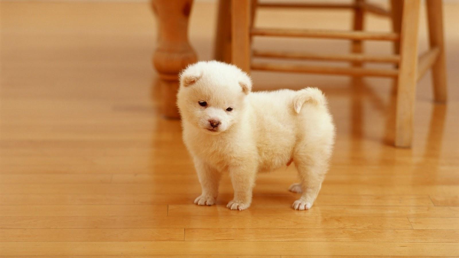 cute white puppy desktop wallpaper windows 8 hd wallpapers