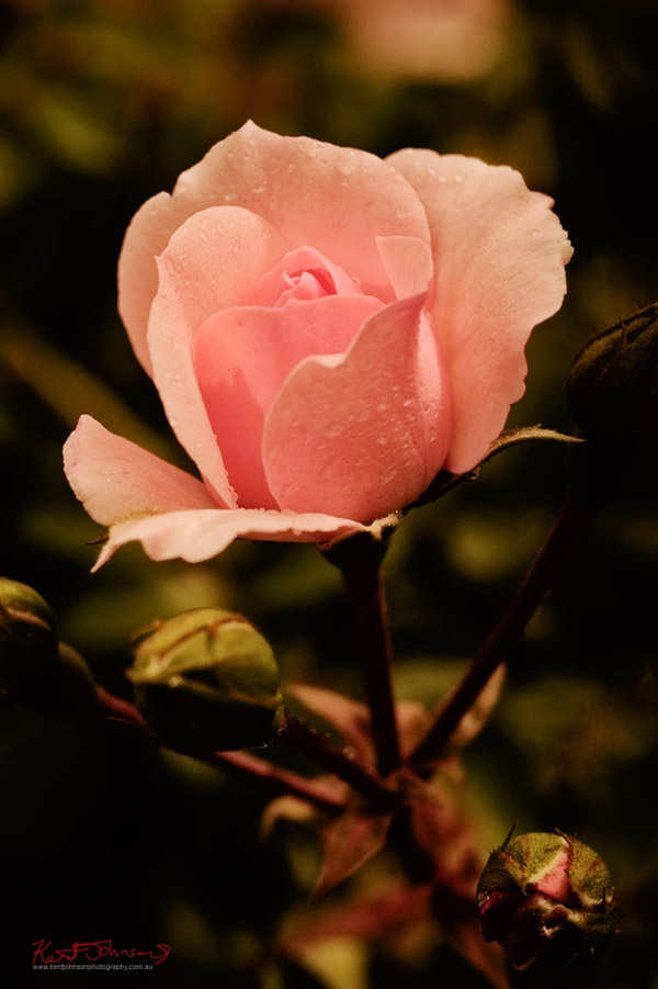 Fujifilm X-Pro1 Pink Rose Bud XF60mmF2.4 R Macro 125th  F5.6 200iso