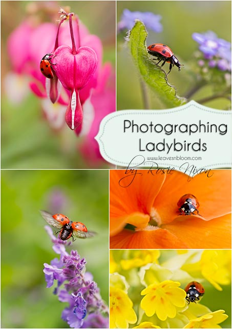 photographing native 7 spot ladybirds