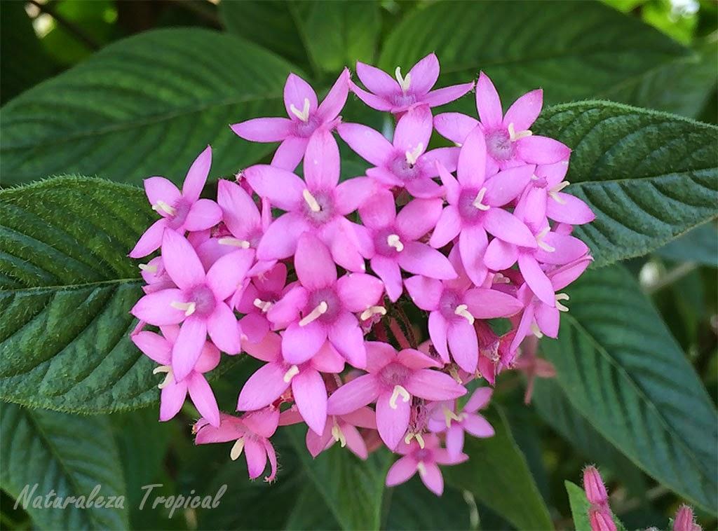 Naturaleza tropical flor estrellita de jard n nombre for Catalogo de flores de jardin