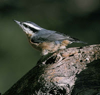 red breasted nuthatch sits on a log