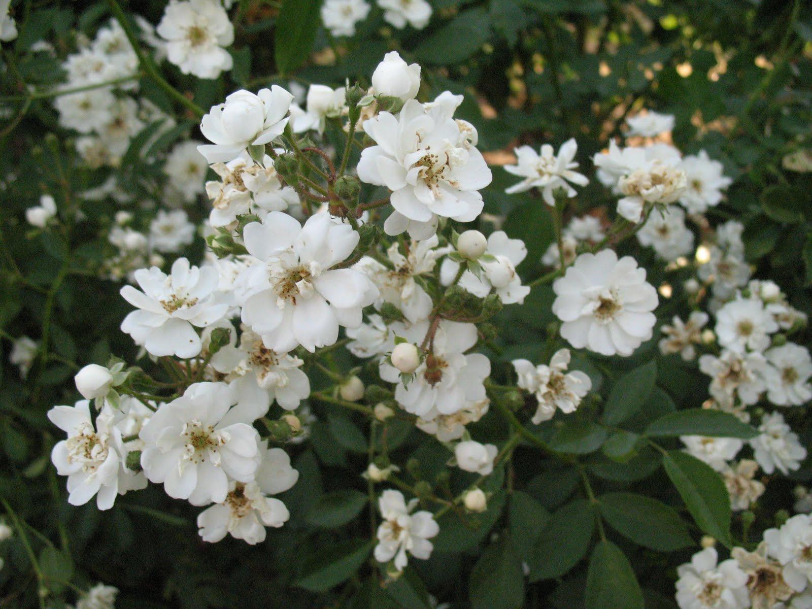 roses du jardin ch neland rosier guirlande d 39 amour. Black Bedroom Furniture Sets. Home Design Ideas