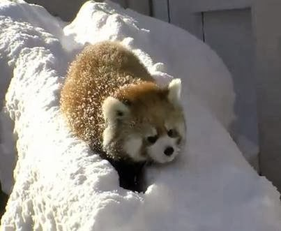 Baby Red Pandas Play In The Snow Snow Addiction News