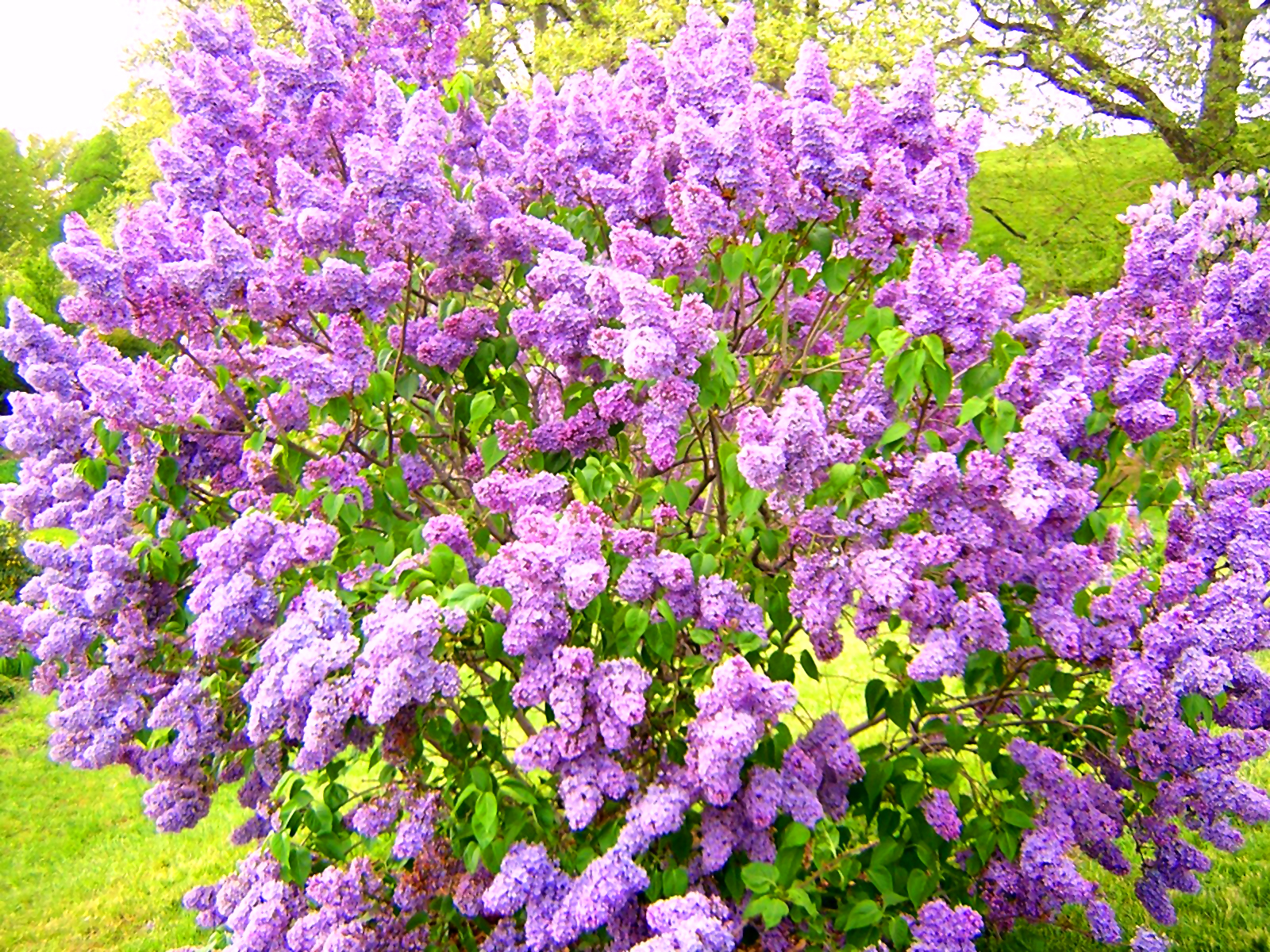 Kane Landscapes: Plant of the Week: Lilac